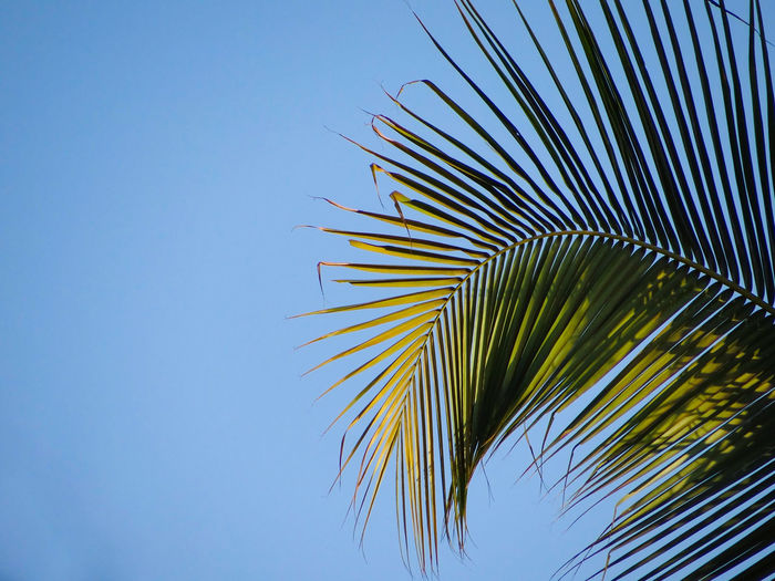 THE COCONUT PALM TREE FROND Coconut Palm Tree Frond Nature Lush Foliage Blue Sky Clear Sky Palm Tree Frond Blue Fanned Out Summer Palm Leaf Close-up Sky Leaf Vein Lush - Description Leaf
