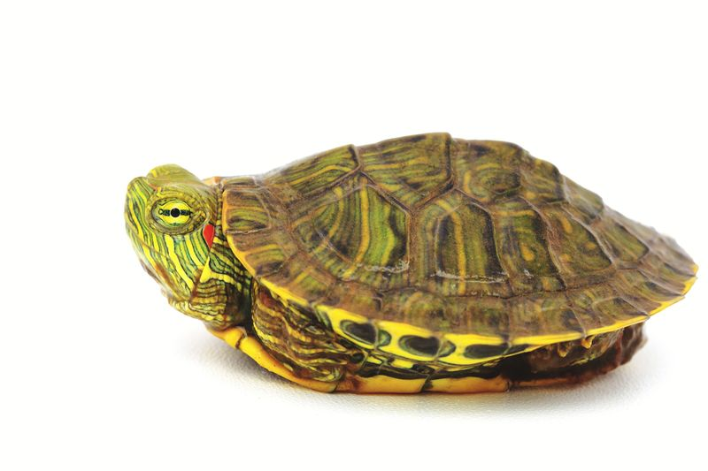 hiding Pet Animal Animal Themes Red Eared Slider Turtle Red Eared Slider Hiding In Plain Sight Hiding Tortoise Shell White Background Tortoise Reptile Close-up Turtle Shell