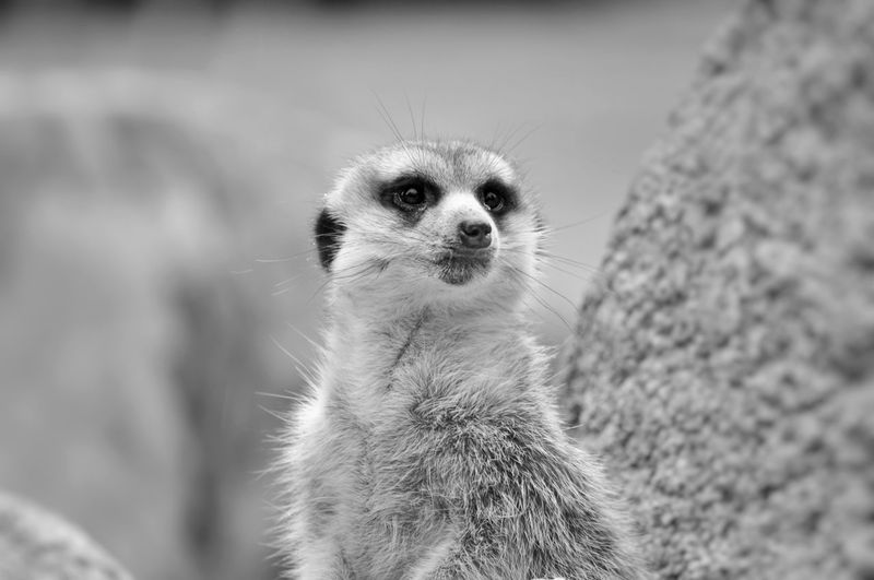 Animal Themes Animal Wildlife Animals In The Wild Black And White Blackandwhite Close-up Day Depth Of Field Looking At Camera Mammal Meerkat Nature No People One Animal Outdoors Portrait The Portraitist - 2017 EyeEm Awards