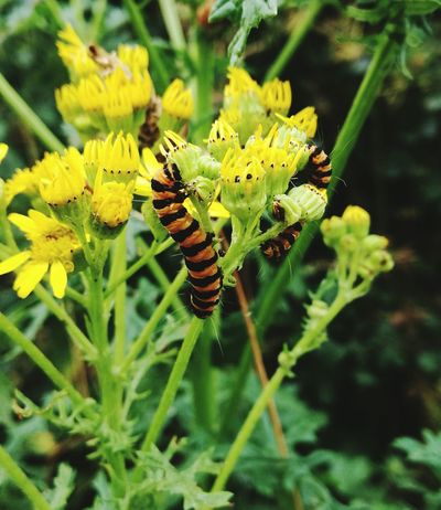Insect Animals In The Wild Animal Wildlife Nature Focus On Foreground No People Plant Close-up Leaf Outdoors Yellow Beauty In Nature Change Reborn Growth Catapillar Fragility Butterfly Newlife💛
