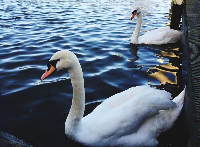 Swans River Thames