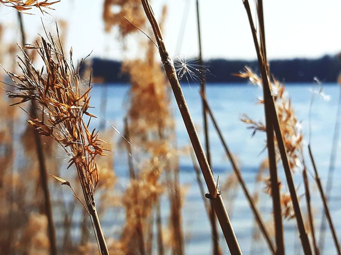 Cereal Plant Rural Scene Backgrounds Summer Pastel Colored Agriculture Wheat Seed Close-up Sky Wilted Plant Dried Plant Dry Wilted Dead Plant Wildflower Reed - Grass Family Plant Life Botany Dried Fallen Cattail Leaves Anise Fall Uncultivated Dandelion In Bloom Thistle Leaf Vein