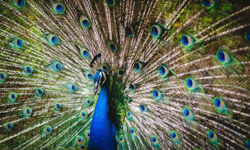 Pattern Rooster Bird Tail Peafowl Green Peacock Peacock Feather Feather  Animal Wildlife Bird Blue Animal Themes Animal No People Full Frame Multi Colored Fanned Out Vertebrate Pattern Beauty In Nature One Animal Animals In The Wild Close-up Natural Pattern Green Color