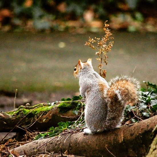 [[ Lost in Thought ]] Squirrels Animals Forest Fresh Ig_europe Igers Ig_ireland Ig_animals Instatrees Instanimals Nuts Noisy Highiso Lowlight Pentax Pentaxian Picoftheday Red Fluffy Furry Cuddly Trees