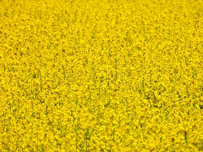 Rap Field Of Rapeseed Yellow Flower Flowering Plant Beauty In Nature Backgrounds Freshness Land Full Frame Agriculture Rural Scene Field Landscape Abundance Springtime Oilseed Rape Outdoors Flowerbed No People Nature Crop  Plant