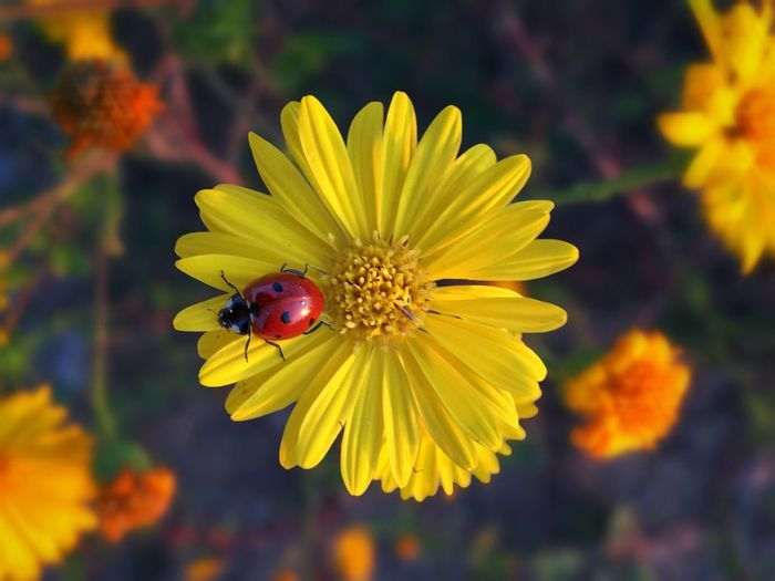 Original Experiences Your Own Color The Innovator Flower Ladybug Red Yellow Nature Israel Focus Full Frame No People Day Feel The Journey Travel Destinations Maximum Closeness