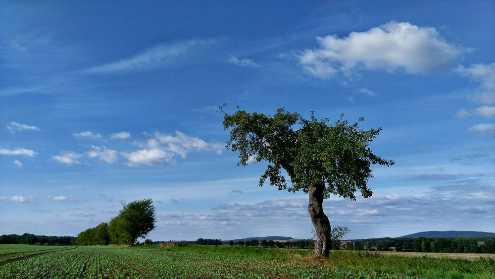 Der Aeppelboom in der Herbstsonne Tree Landscape Tranquil Scene Grass Sky Tranquility Field Growth Scenics Green Color Blue Beauty In Nature Nature Cloud - Sky Non-urban Scene Grassy Green Countryside Day Outdoors Aeppelboom