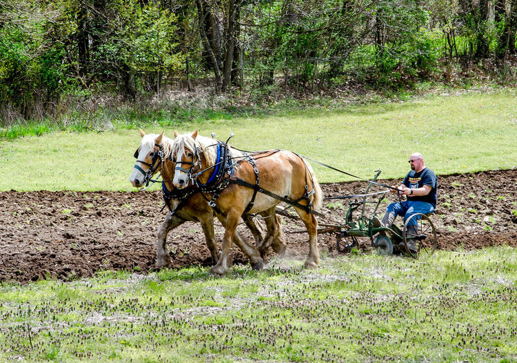 a strong young man demonstrates during plow days in Buchanan MI USA, the strength needed to plow a field the old fashioned way with horse and plow Buchanan Michigan USA Hard Work Horses Old Fashioned Way Plow Days Adult Day Demonstration Domestic Animals Farmers Farming Life Full Length Grass Horse Horse And Plow Mammal Men Nature One Person Outdoors People Plowing The Fields Springtime