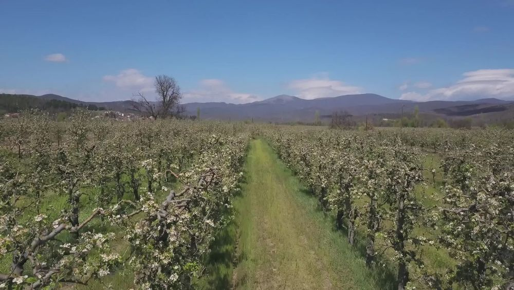 apple orchards Aerial View Agriculture Apple Orchard Blossom Blossoming Tree Drone  Drone Photography Earth Filed Fileld Outd Insecticide Nature Pesticide Spraying Spraying Orchard Tractor