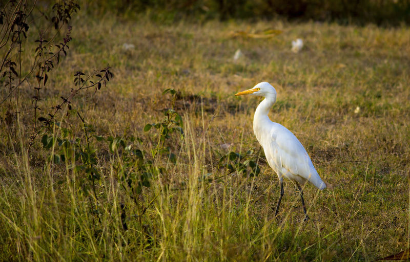 Stork finding insects in fields Beach Birds Beautiful ♥ Fish Eaters Nature Nature Photography 👣 Outdoors Photograpghy  Sea Birds Stork Stork In Gad Stork Nest Storks White Bird