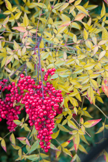 Close-up of red berries on plant