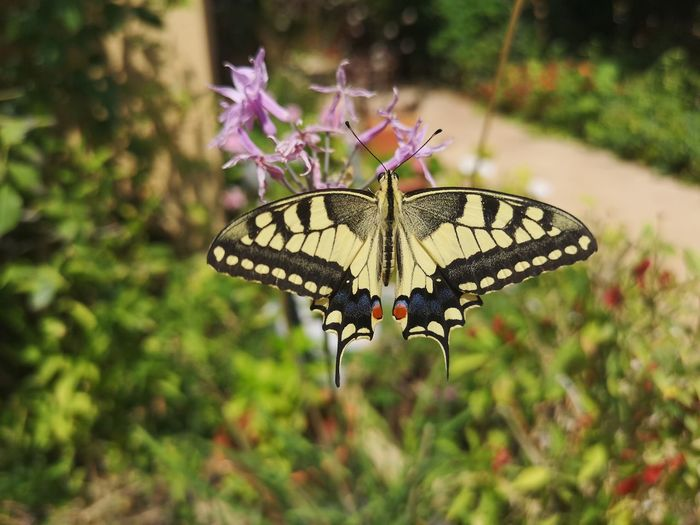 swallowtail butterfly Color Color Wings Colorful Garden Flower Swallowtail Insect Perching Pink Color Leaf Animal Wing