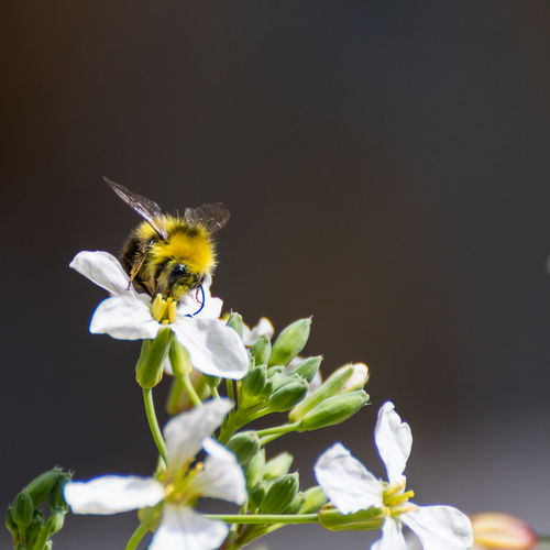 Close-Up Of Bumblebee Pollinating On White Flower