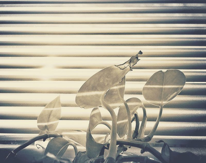 No People Close-up Day Indoors  Plant Plant Life Sunlight Sunlight And Shadow Light And Shadow Light And Shadows Window Windows Window Blind Window Blinds Office Plant At The Office Urban Nature