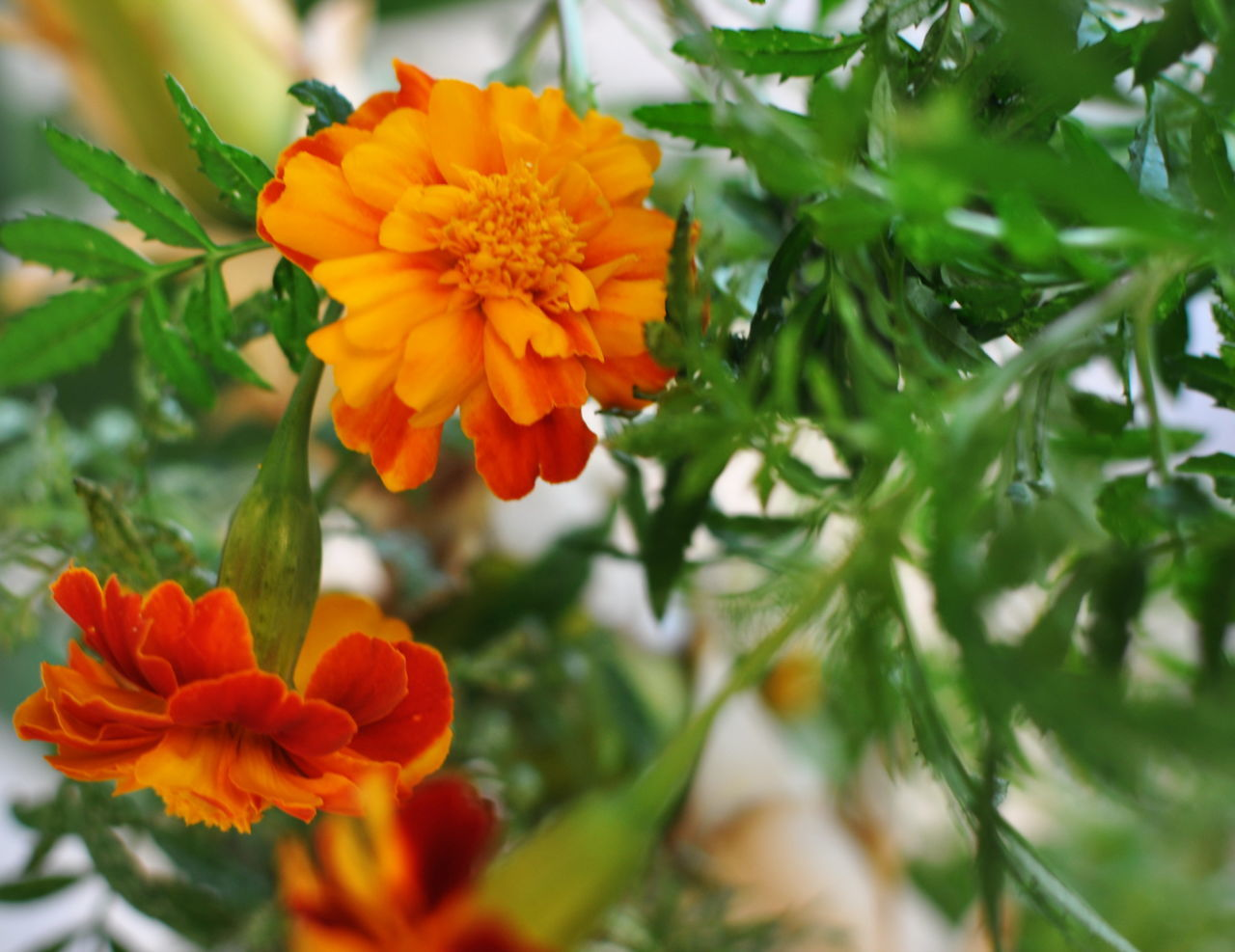 flower, beauty in nature, petal, nature, freshness, fragility, orange color, growth, flower head, plant, no people, blooming, outdoors, day, close-up, marigold