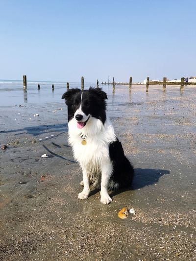 A dog sitting on the sand. Pedigree Puppy Border Collie Sand Silhouette Shadow Beauty In Nature Wooden Post Breakwater Blue Copy Space Pet Owner Domestic Dog Dog Canine Domestic Domestic Animals Pets One Animal Mammal Animal Themes Animal Vertebrate Sky Clear Sky Water Sea Nature Sunlight Beach