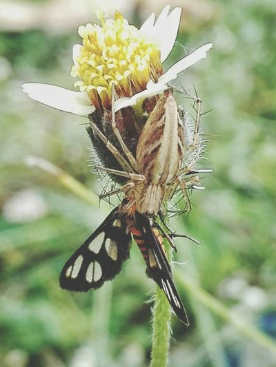 Meal of the day Tiger Moth Tiger Moth Insect Spider Lynx Spider Bug Insect Flower Nature Animals In The Wild Animal Themes Plant