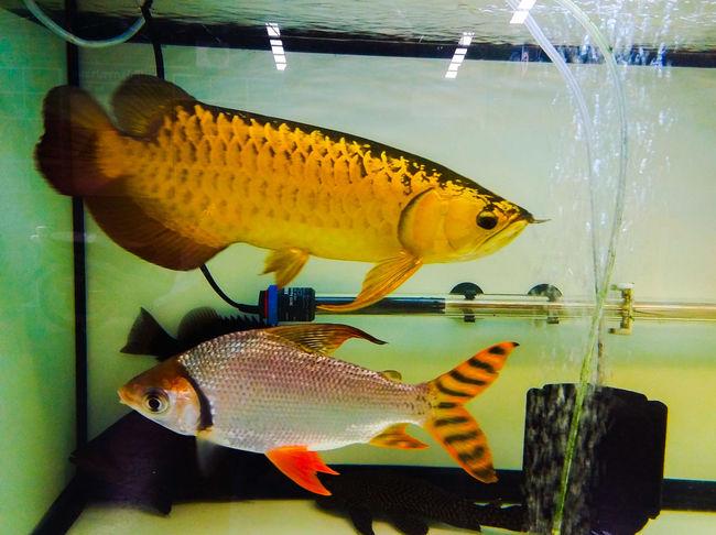 Gragon Fish Arowana Fish Water UnderSea Sea Life Underwater Yellow Fish Animal Themes Close-up