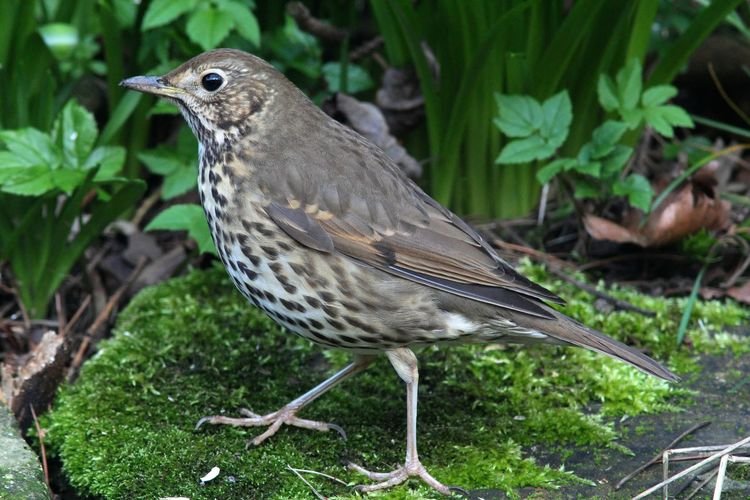 Song thrush Profile Song Thrush Turdus Philomelos Animals In The Wild Bird Moss Nature No People Outdoors Side View