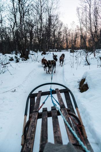 Sled dog in tromsø during sunset