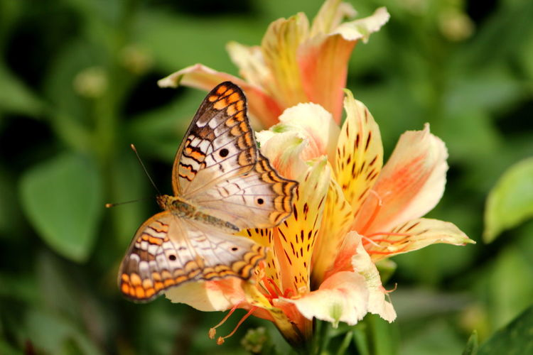 Animal Animal Themes Animal Wildlife Animal Wing Animals In The Wild Beauty In Nature Butterfly - Insect Close-up Flower Flower Head Flowering Plant Focus On Foreground Fragility Freshness Growth Insect Invertebrate No People One Animal Outdoors Petal Plant Pollen Pollination Vulnerability