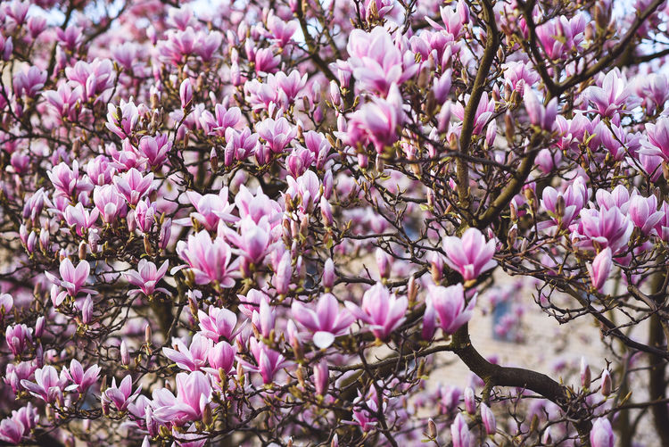 fragile beauty 2. Backgrounds Beauty In Nature Blossom Branch Close-up Day Flower Flower Head Fragility Freshness Growth Magnolia Magnolia Blossoms Magnolia Flower Magnolia Tree Millennial Pink Nature No People Outdoors Petal Pink Color Purple Springtime Tree