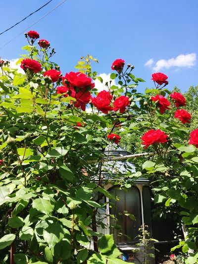 Roses Plant Flower Growth Flowering Plant Freshness Sky Nature Beauty In Nature No People Vulnerability  Red Day Fragility Tree Low Angle View Green Color Cloud - Sky Leaf Outdoors