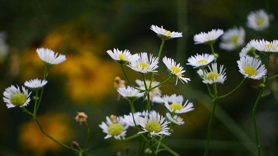 Daisies Daisy