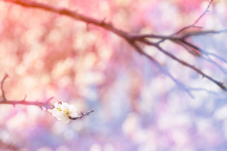 Plum Blossoms Flowering Plant Flower Plant Tree Branch Pink Color Blossom Softness Soft Focus Botany Springtime Fragility Freshness Nature Pink Pastel Soft Bokeh Creative Background