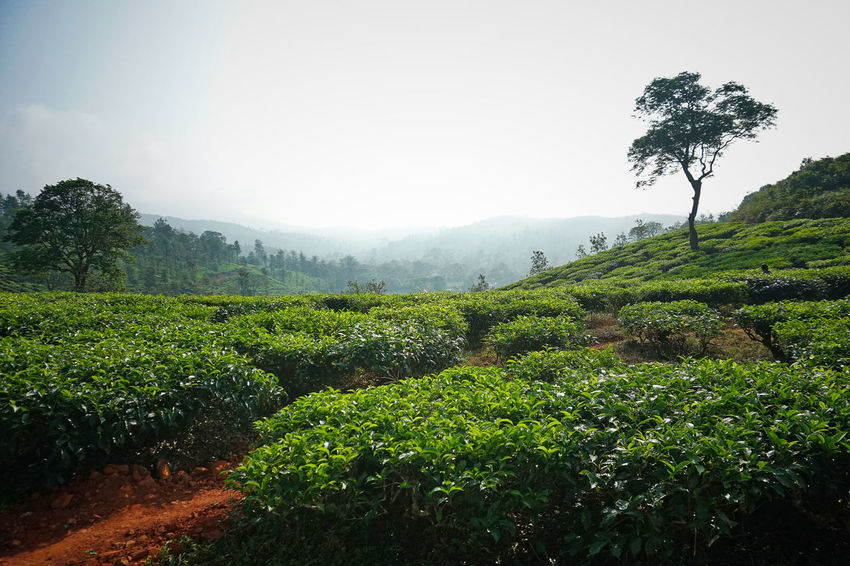 Rural India India Kerala Wayanad South India Morning Tea Tea Plantation  Plant Tree Growth Tranquility Beauty In Nature Landscape Tranquil Scene Scenics - Nature Green Color Land Nature Environment No People Agriculture Rural Scene Plantation Tea Crop