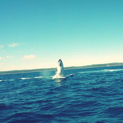 Majestic Whale at Fraser Island