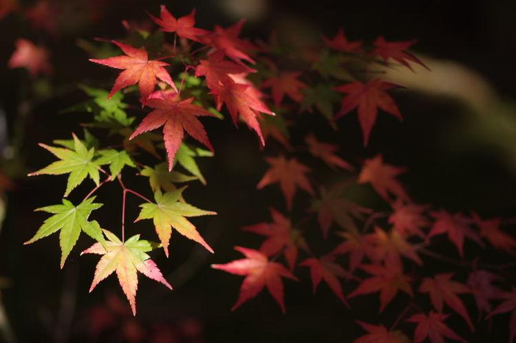 鹿王院 Nature Maple Leaf Beauty In Nature Autumn Nature Photography 紅葉2016 紅葉 紅葉🍁 Nature_collection
