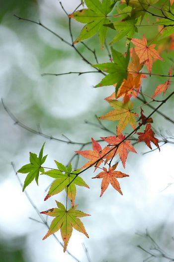 香嵐渓 もみじ 玉ボケ 玉ボケ部 Autumn Leaves Red Leaves Green Leaves Nature EyeEm Nature Lover Nature Photography