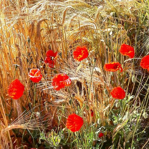 Backgrounds Full Frame Outdoors Nature Red No People poppies Sunlight Nature Flower Scenics Poppy Flowers Wheat Dreaming sunny afternoon Sunny Afternoon Brightness Bright Colours Bright Light Summertime Rural Scene Beauty In Nature Landscape Tranquility Field Growth Flower Head impressionism EyeEmNewHere