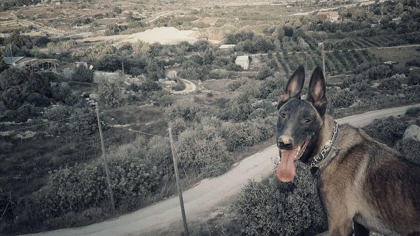 One Animal Animal Themes Malinoislife Malinois Dog Malinoislove Malinois Dog Pets Animal Head  Malinoislovers Rear View