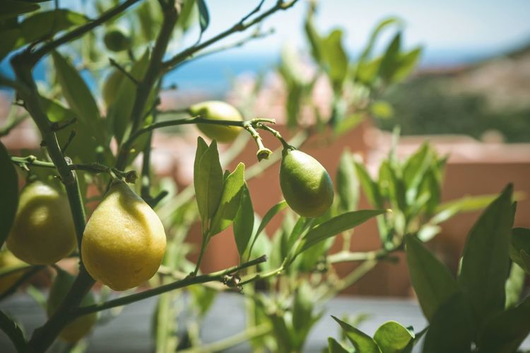 On the terrace Nature Mood Limequat Fruit Healthy Eating Plant Growth Leaf Freshness Citrus Fruit Focus On Foreground Food Plant Part Nature Green Color No People Fruit Tree Close-up