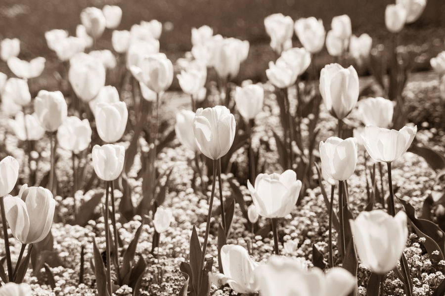 Black & White Black And White Photography Blackandwhite Blumenpracht🌺🍃 EyeEm Best Shots EyeEm Nature Lover From My Point Of View Monochrome Nature Nature's Diversities Noir Selective Focus Sunny Tulips Tulips🌷 White Flower