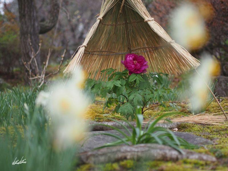 水仙越しに E-PL3 Flower Peony  Narcissus 冬牡丹 水仙 Noedit 前ボケ