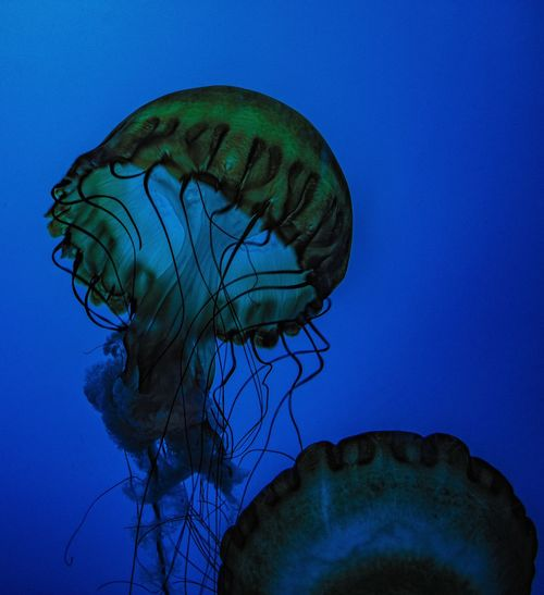 Jellyfish Fish Tank Tentacle Swimming Invertebrate Floating In Water UnderSea Sea Life Aquarium Underwater