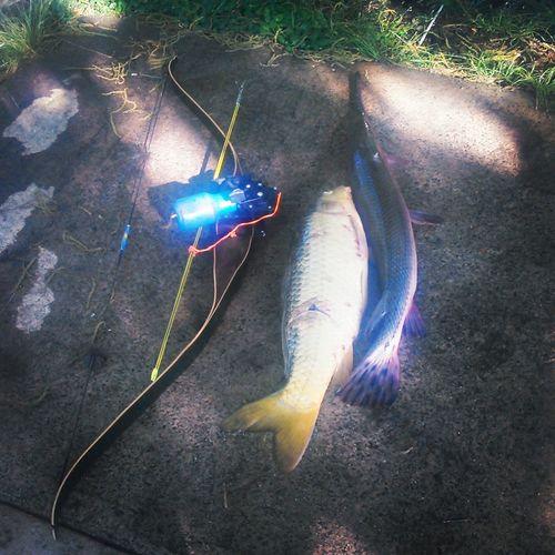 Bowfishing. Relaxing Bowfishing Bow Carp Gare Nature at my house. Livingfossil Garfish Freshwater Fish Species