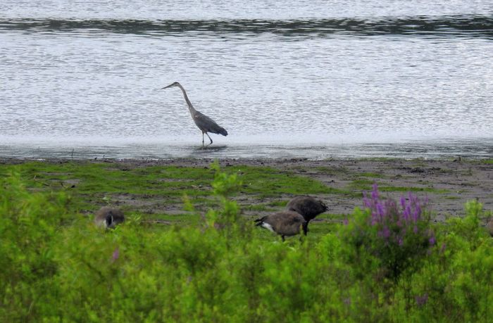 Great Blue Heron and canadian geese. Birds_collection Beauty In Nature Beauty Of Nature Natural Beauty No People Birds Of Prey Bird Birdwatching Great Blue Heron Heron Great Blue Heron In Water Canadian Goose Canadian Geese Strife Purple Flowers Water Bird Wildlife