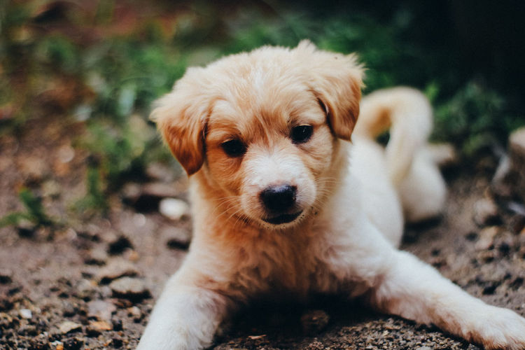 Dog Canine Domestic Animal Themes One Animal Animal Mammal Pets Domestic Animals Portrait Vertebrate Looking At Camera Focus On Foreground No People Day Puppy Cute Relaxation Young Animal Field Small Animal Head