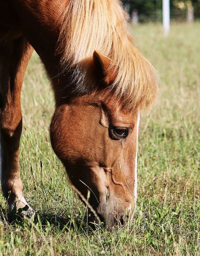 Close-up of a horse grazing in field