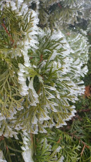 Nature Green Color Plant Tree Eyeemphotography Cold Temperature EyeEm Frozen Macro Photography Pinetrees🌲 Frozen Nature