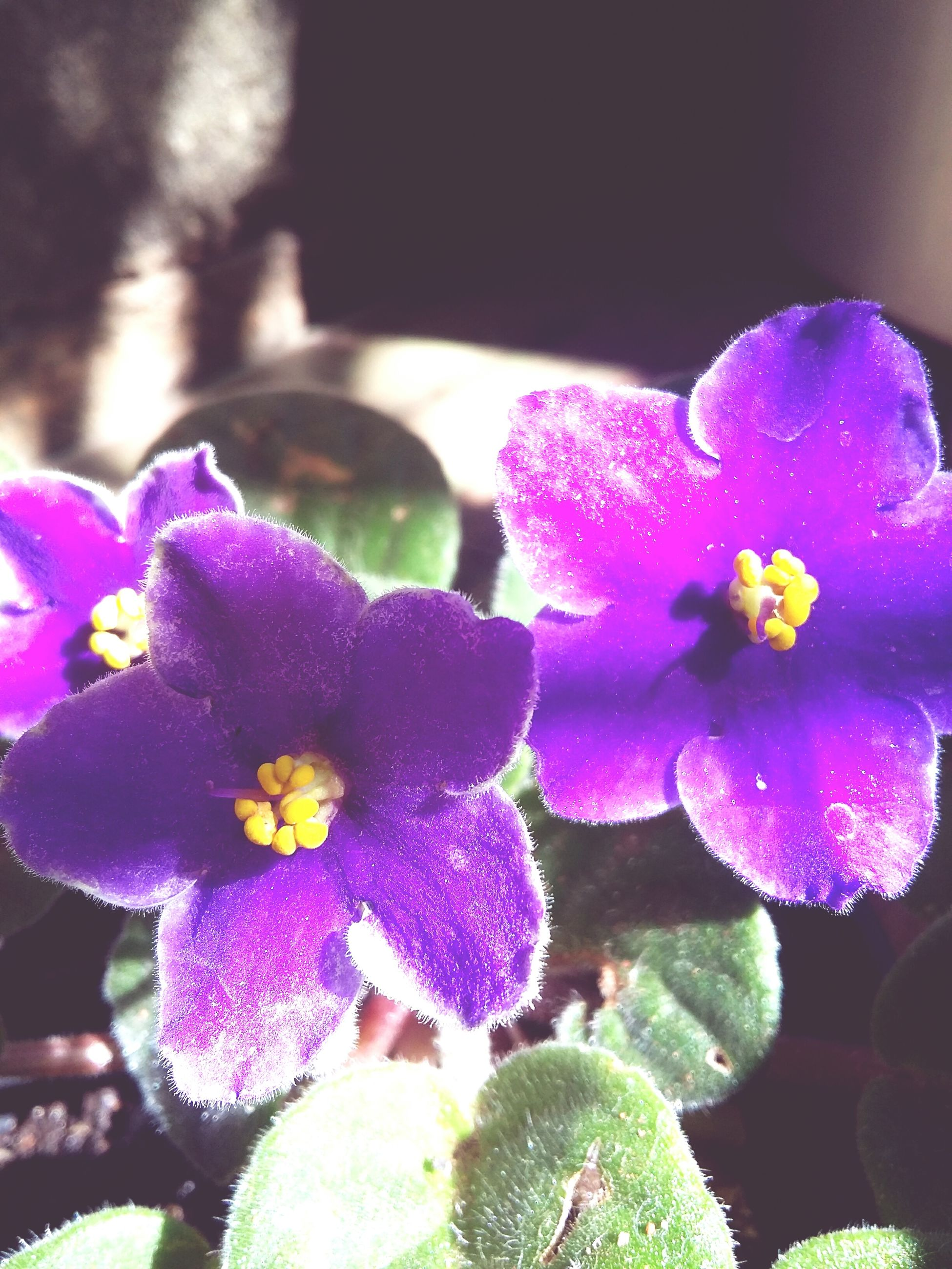 flower, fragility, petal, beauty in nature, growth, nature, freshness, plant, day, flower head, purple, no people, outdoors, close-up, blooming