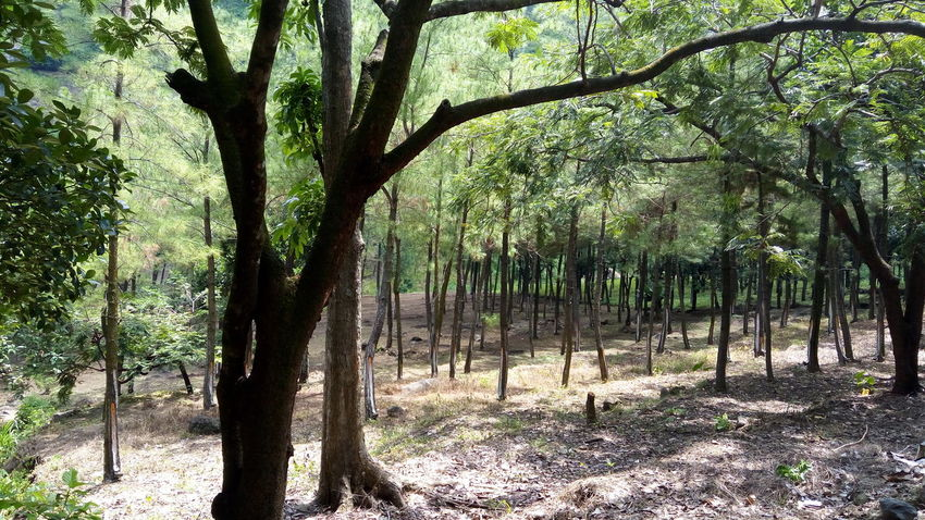 Hevea brasiliensis Tree Tree Trunk Growth Nature Outdoors Branch Shadow Day No People Beauty In Nature Sky Hevea Brasiliensis Rubber Plantation Tree Green Color Leaf Plant