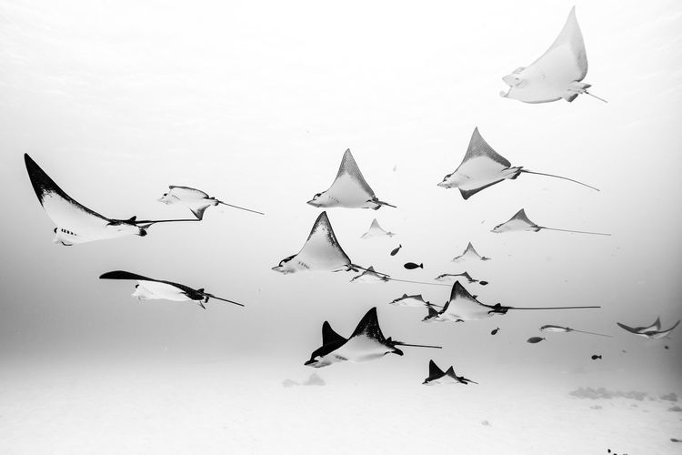 Saipan underwater life Airplane Animal Themes Animal Wildlife Animals In The Wild Bird Blackandwhite Day Eagleray Flock Of Birds Flying Large Group Of Animals Low Angle View Nature No People Outdoors Sky Spread Wings Beauty In Nature The Great Outdoors - 2017 EyeEm Awards