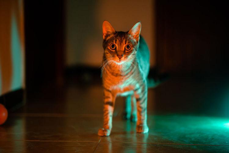 Portrait of cat on hardwood floor
