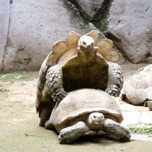 Apareamiento de Tortugas en el Zoologicodechapultepec Vacaciones instaphoto instaportrait instacool naturaleza instante mypicture animals