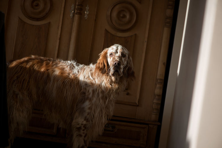 Dogs Setter Animal Animal Hair Animal Head  Animal Themes Architecture Canine Day Dog Domestic Domestic Animals Door English Setter Entrance Home Interior Indoors  Looking Mammal No People One Animal Pets Standing Vertebrate Waiting